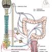 برای مدیریت روده نوروژنیک درافراد دارای آسیب نخاعی